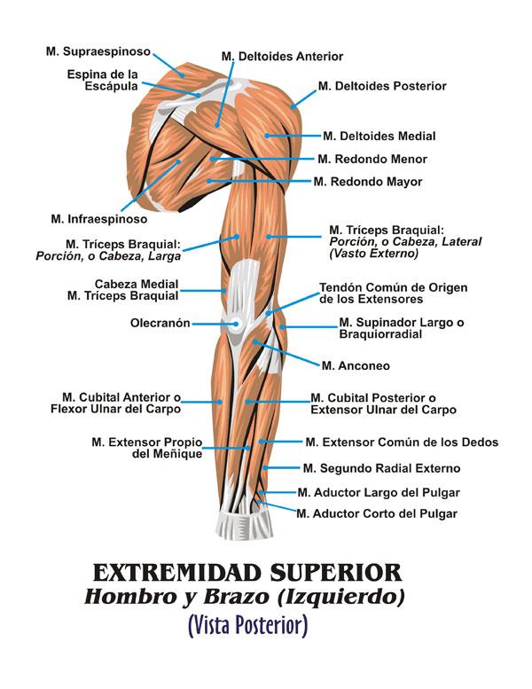 Atractivo Anatomía Brazo Posterior Modelo - Anatomía de Las ...