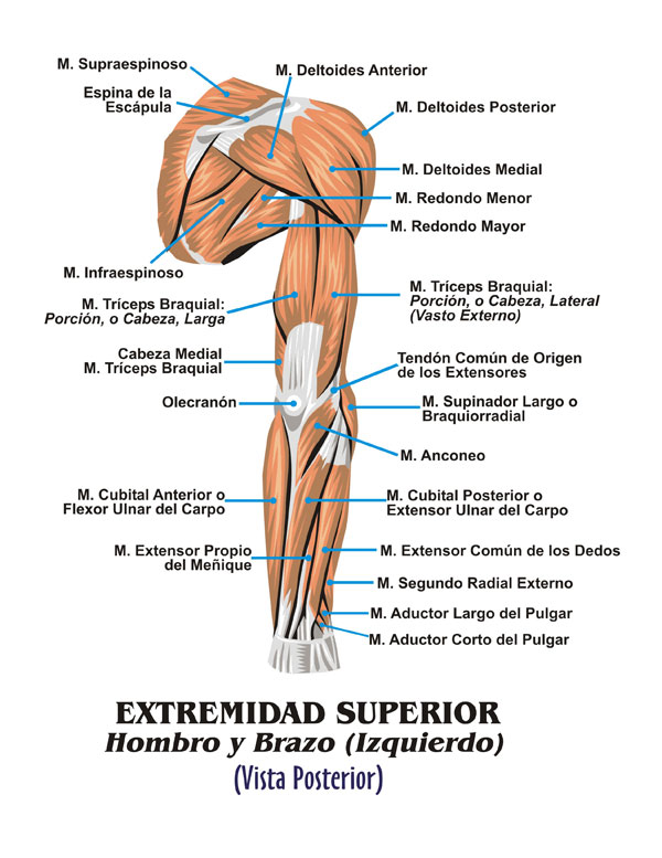 Músculos Esqueléticos © 2011 Edgar Lopategui Corsino