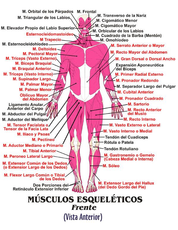 Increíble Gráfica De Músculos Anatomía Motivo - Anatomía de Las ...