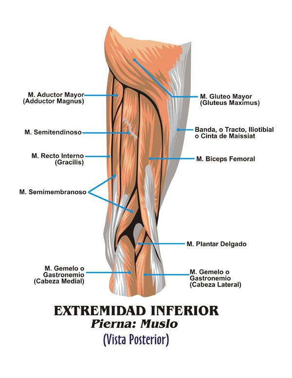 Lujoso Gráfico De Músculo De La Pierna Motivo - Anatomía de Las ...